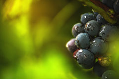 Wine grapes in vineyard after rain Stock Photo