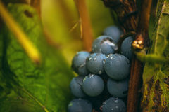 Wine grapes in vineyard after rain Stock Images