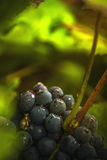 Wine grapes in vineyard after rain Stock Photography