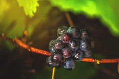 Wine grapes in vineyard after rain Stock Image