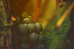 Wine grapes in vineyard after rain Royalty Free Stock Photography