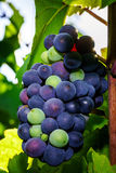 Wine grapes vineyard at sunset, autumn in France Royalty Free Stock Image