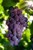 Wine grapes vineyard at sunset, autumn in France Royalty Free Stock Photography
