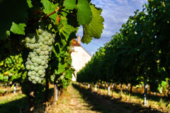 Wine grapes vineyard at sunset, autumn in France Stock Image
