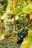 Wine grapes in the vineyard Royalty Free Stock Image