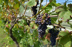Wine grapes in a vineyard Stock Photography