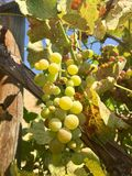 Wine Grapes in Washington State Stock Photography