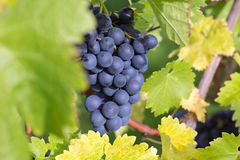 Wine grapes on a wine rack in autumn Royalty Free Stock Images