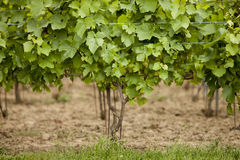 Wine grapes. Young wine grapes in springtime in limburg, belgium Royalty Free Stock Photo