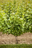 Wine grapes Stock Photography