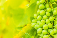 Wine. Green cluster of wine ripening, shot in the middle of summer, during hot and sunny day Royalty Free Stock Photography