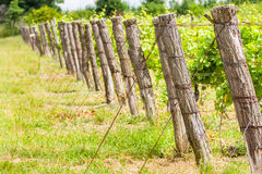 Wine. Green cluster of wine ripening, shot in the middle of summer, during hot and sunny day Stock Images