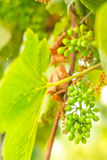 Wine. Green cluster of wine ripening, shot in the middle of summer, during hot and sunny day Royalty Free Stock Photos