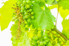 Wine. Green cluster of wine ripening, shot in the middle of summer, during hot and sunny day Stock Photos