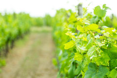 Wine. Green cluster of wine ripening, shot in the middle of summer, during hot and sunny day Royalty Free Stock Photo