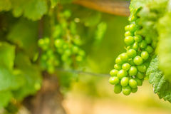 Wine. Green cluster of wine ripening, shot in the middle of summer, during hot and sunny day Stock Image