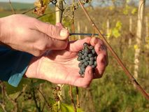 Wine grower control vine grapes after the first frost in vineyard. Autumn season of vine making Stock Photo