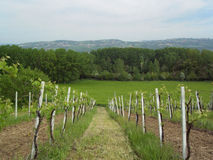 Wine growing. Landscape with mountain wine growing (Benevento, Italy Stock Photography