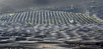 Wine-growing area La Geria on the Island of Lanzarote Royalty Free Stock Photo