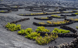 Wine-growing area La Geria on the Island of Lanzarote Stock Photos