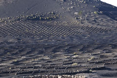 wine-growing area La Geria in Lanzarote Royalty Free Stock Images