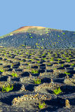 Wine-growing in the area of La Geria, World Cultural Heritage Stock Images