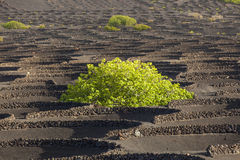 Wine-growing district La Geria in Lanzarote, Spain Royalty Free Stock Image