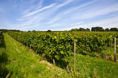 Wine-growing district in the sun Royalty Free Stock Images