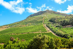 Wine growing on the hill Royalty Free Stock Photos