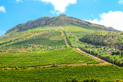 Wine growing on the hill Stock Photos