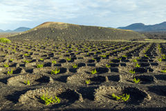 Wine-growing In The Area Of La Geria, World Cultural Heritage Royalty Free Stock Images