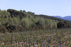 Wine growing in the south of france Royalty Free Stock Photo