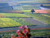 Wine fields to the horizon in great autumn colors. Wine growing in southern Germany, lonely tree in the middle of wine fields, grapevines just before the Harvest stock photos