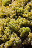 Wine harvest Stock Image