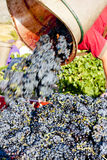Wine harvest Royalty Free Stock Image