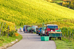 Wine harvest in autumn. Wine harvest on a sunny day in autumn Royalty Free Stock Photography