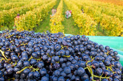 Wine harvest in autumn Stock Image