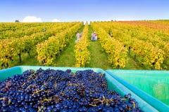Wine harvest in autumn. Wine harvest on a sunny day in autumn Stock Photo