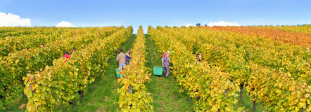 Wine harvest in autumn Stock Photos