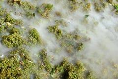 Wine harvest Stock Photography