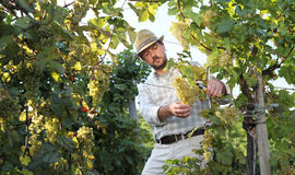 Wine Harvest Worker Cutting Grapes from Vines stock image