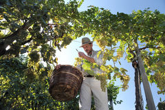 Wine Harvest Worker Cutting White Grapes from Vines with wicker. Basket full royalty free stock images