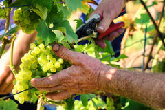 Wine harvesting - old farmers hands cutting grape branch. Agricultural background Royalty Free Stock Photo
