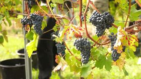 Wine harvesting. People selecting the best wine grapes stock video