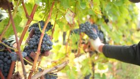 Wine harvesting. Worker cutting the best red wine grapes from the plant stock footage