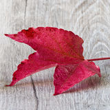 Wine leaf Stock Images