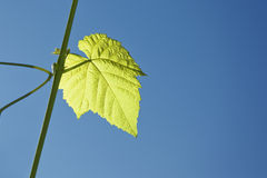 Wine leaf Royalty Free Stock Images