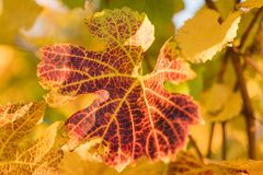 Wine leaf in autumn on a sunny day royalty free stock photo