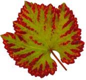 Wine_leaf_Fall Stock Afbeelding