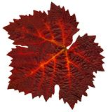 Wine_leaf_Fall0 stock images
